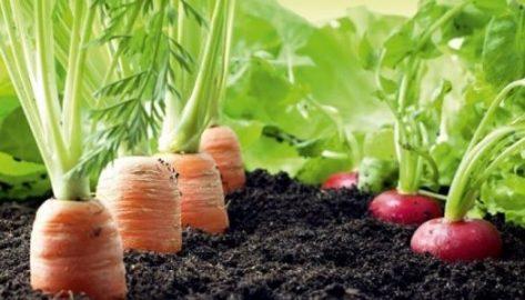 Cultivos Zanahoria Huertos Escolares Sostenibles Las zanahorias son tpicamente cosechadas en un estado inmaduro cuando las races han alcanzado suficiente tamao para llenar la punta y desarrollar un adelgazamiento uniforme. cultivos zanahoria huertos
