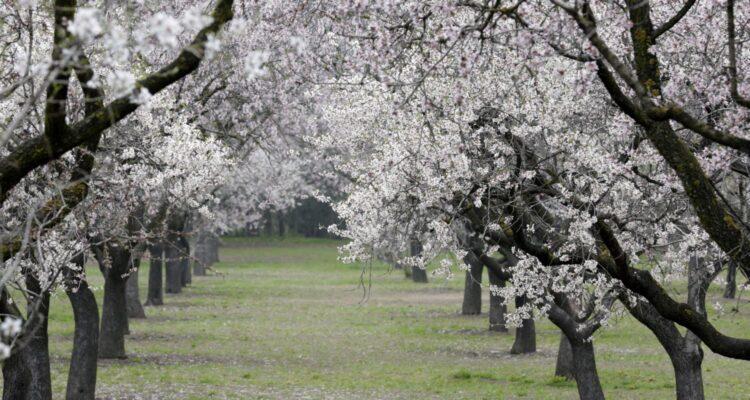 Almendros en flor de El Capricho